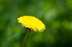 在绿草背景的黄色蒲公英 特写镜头 图库摄影