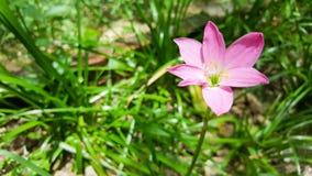 在绿草自然背景的一朵桃红色花 库存图片