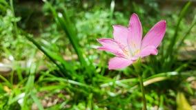 在绿草自然背景的一朵桃红色花 免版税库存图片