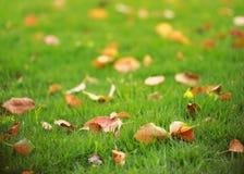 在绿草草坪的红色叶子叶子槭树在夏天春天秋天秋天冬天公园庭院里晴天 免版税图库摄影