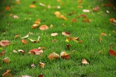 在绿草草坪的红色叶子叶子槭树在夏天春天秋天秋天冬天公园庭院里晴天 库存照片