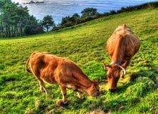 在绿草领域的母牛 阿斯图里亚斯西班牙 免版税库存图片