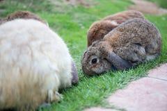 在绿草领域surrround的婴孩棕色兔子用兔子 免版税库存图片