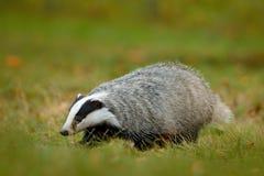 在绿草,兽性栖所,德国,欧洲的獾 野生生物场面 野生獾,獾属獾属,在木头的动物 欧洲 库存照片