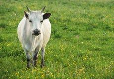 在绿草,夏天的白色母牛 免版税库存图片