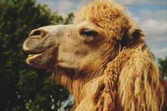 在绿草,夏天的骆驼 库存图片