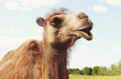 在绿草,夏天的骆驼 库存照片