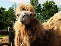 在绿草,夏天的骆驼 免版税库存照片