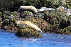 在缅因海岸海岛上的大西洋斑海豹 库存照片