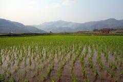 在缅甸的米领域 库存图片