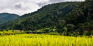 在缅甸的绿色ricefield 库存图片
