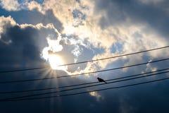 在缆绳电线的一只鸟 鸟在a栖息的鸠身分 免版税库存照片