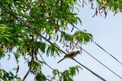 在缆绳电线的一只鸟 鸟在a栖息的鸠身分 免版税库存图片