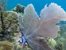 在缓慢地Cayo礁石的扇形珊瑚 免版税库存图片