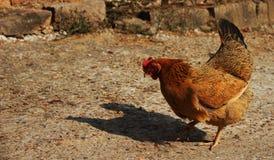 在缓慢的步行的一只鸡 免版税库存图片