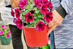 在罐关闭的美丽的褐红的花 免版税库存照片