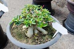 在罐增长的杜娟花树 免版税图库摄影