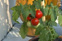 在罐外面的蕃茄 免版税库存图片