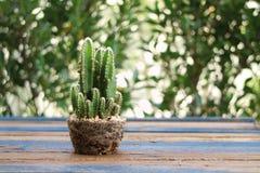 在罐形状的绿色仙人掌展示根在木桌上 图库摄影