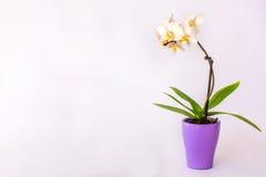 在罐的一朵小白色兰花 库存照片