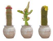 在罐的三个仙人掌 免版税图库摄影