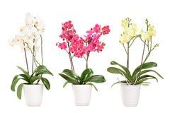 在罐的三朵开花的兰花 库存图片