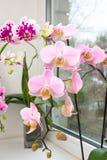 在罐的兰花在窗口 一朵充满活力的热带桃红色和桃子兰花开花,花卉背景 Thail美丽的家庭花束  免版税库存图片