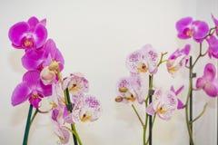 在罐的兰花 在白色背景的一朵兰花 免版税库存图片