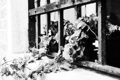 在罐的叶子在一个浪漫窗口在威尼斯 免版税图库摄影