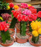 在罐的各种各样的五颜六色的开花的仙人掌在市场上 免版税库存图片