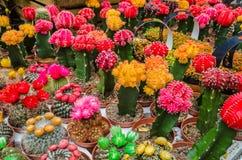 在罐的各种各样的五颜六色的开花的仙人掌在市场上 免版税图库摄影