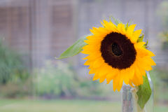 在罐的向日葵 免版税库存照片