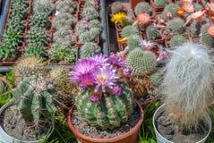在罐的品种开花的仙人掌,背景 免版税库存照片
