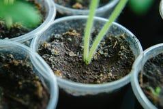 在罐的土壤幼木 免版税库存图片