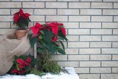 在罐的圣诞节一品红在砖墙背景 免版税图库摄影