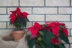 在罐的圣诞节一品红在砖墙背景 免版税库存图片
