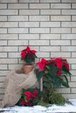在罐的圣诞节一品红在砖墙背景 库存图片