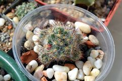 在罐的多刺的多汁植物mammillaria prolifera 免版税库存照片