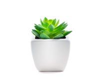在罐的多汁植物 免版税库存图片