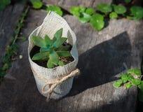 在罐的多汁植物 免版税图库摄影