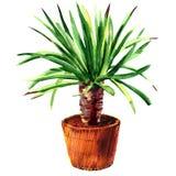 在罐的室内植物龙血树属植物,被隔绝,在白色的水彩例证 免版税库存照片