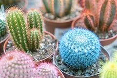 在罐的小多彩多姿的仙人掌 桃红色仙人掌,蓝色仙人掌 免版税库存照片