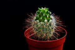 在罐的小绿色仙人掌Mammillaria 免版税库存照片