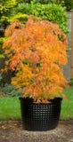 在罐的小鸡爪枫在秋天季节期间 免版税库存图片