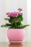在罐的开花的桃红色Kalanchoe 库存照片
