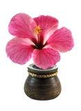 在罐的新鲜的木槿花 免版税库存照片