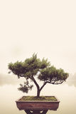 在罐的日本绿色盆景树在禅宗庭院 免版税库存照片