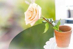 在罐的柔和的淡色彩玫瑰 免版税库存图片
