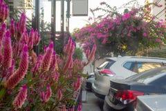 在罐的桃红色凶猛花在咖啡馆前面 免版税库存照片