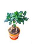 在罐的榕属 免版税库存图片